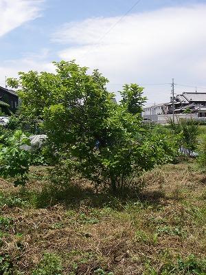 種から育った柿の木.jpg