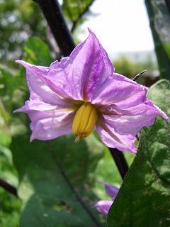 茄子の花.jpg