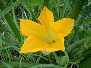 ズッキーニの花.jpg