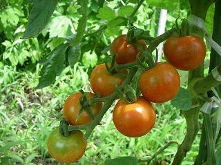 無農薬栽培のプチトマト.jpg