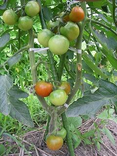 無農薬栽培の中玉トマト.jpg