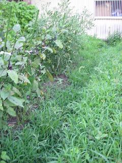 雑草を刈る前の畑.jpg
