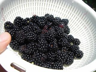 無農薬栽培のブラックベリー.jpg