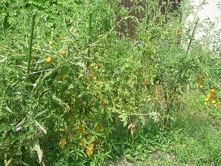 無農薬栽培のトマト.jpg