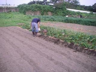 ネギの植え付け用畑づくり.jpg