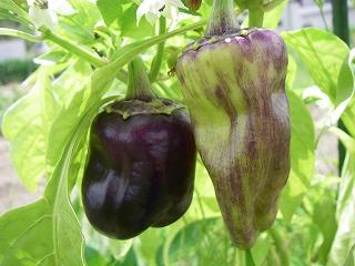 無農薬栽培の紫パプリカ.jpg