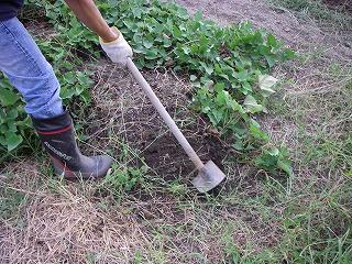 サツマイモ掘り.jpg