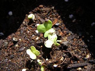 白菜の発芽.jpg