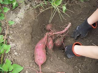 無農薬有機栽培のサツマイモ.jpg