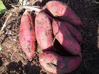 無農薬のサツマイモ.jpg