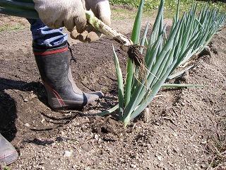 ネギの収穫.jpg