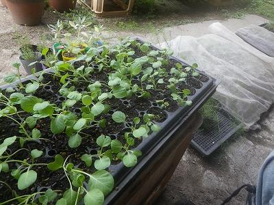 秋冬野菜の発芽