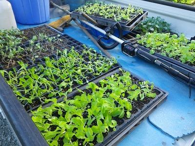苗もの植え付け
